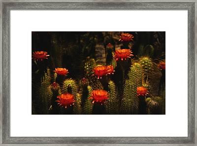 Red Cactus Flowers  Framed Print by Saija  Lehtonen
