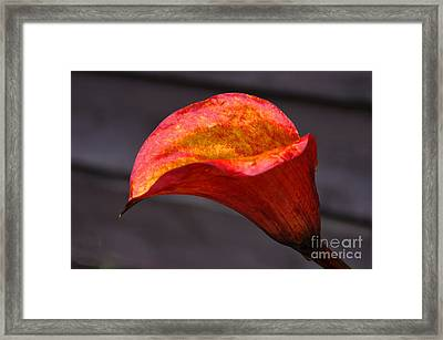 Red Calla Lilly Framed Print by Ron Roberts