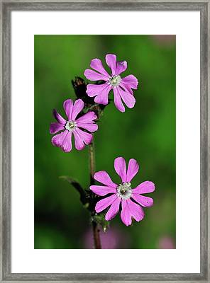 Red Campion Flowers Framed Print
