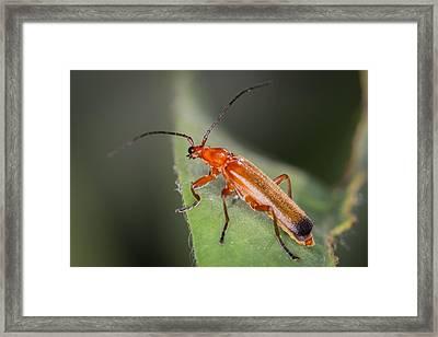 Red Cardinal Beetle Framed Print