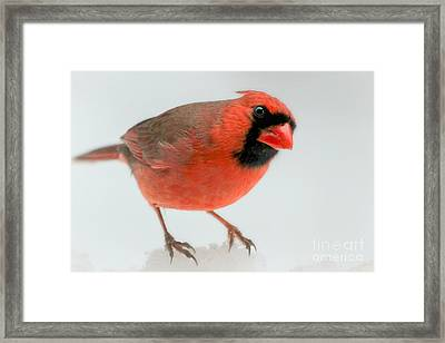 Red Cardinal In Snow Framed Print by Heidi Piccerelli