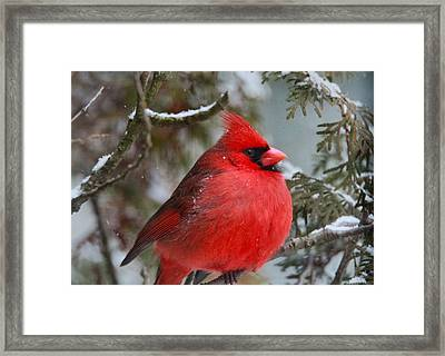 Red Cardinal In Winter Framed Print by Dan Sproul