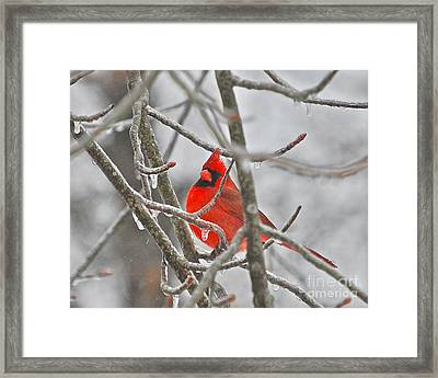 Red Cardinal Northern Bird Framed Print