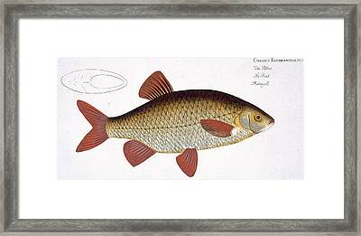 Red Carp Framed Print by Andreas Ludwig Kruger