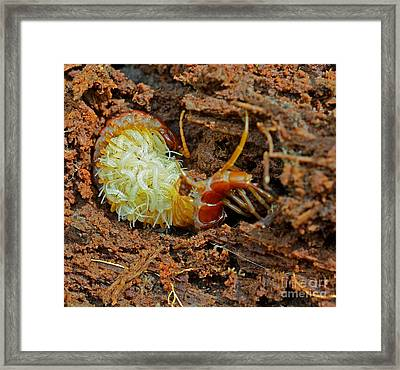 Red Centipede Scolopocryptops Framed Print by John Serrao