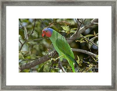 Red-cheeked Parrot Queensland Australia Framed Print by D. Parer & E. Parer-Cook