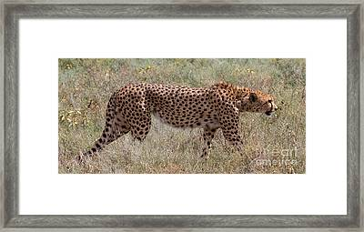 Red Cheetah Framed Print by Chris Scroggins