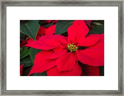 Red Christmas Beauty Framed Print