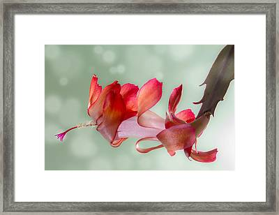 Red Christmas Cactus Bloom Framed Print