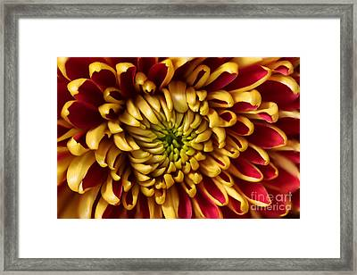 Red Chrysanthemum Framed Print by Matt Malloy