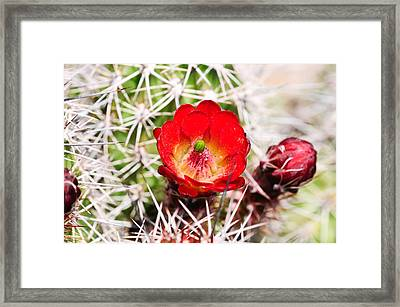 Red Claret Cup Cactus Framed Print