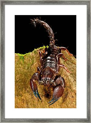 Red Claw Emperor Scorpion, Pandinus Framed Print by David Northcott