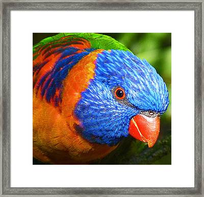 Red Collared Lorikeet Framed Print