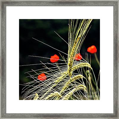 Red Corn Poppies Framed Print by Heiko Koehrer-Wagner
