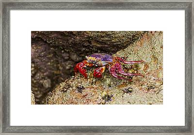 Red Crab Framed Print by Aged Pixel