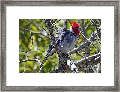 Red Crested Cardinal Framed Print by Bob Phillips