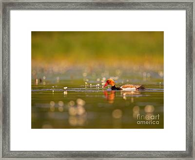 Red-crested Pochard Framed Print