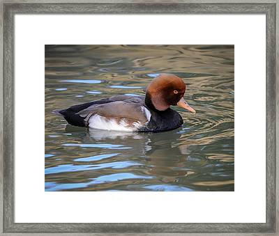 Red Crested Pochard Framed Print