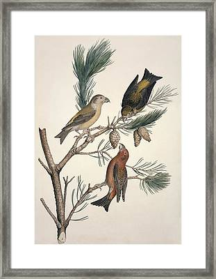 Red Crossbill, 19th Century Framed Print by Science Photo Library