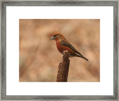 Red Crossbill Framed Print