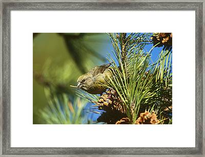 Red Crossbill Eating Cone Seeds Framed Print by Paul J. Fusco