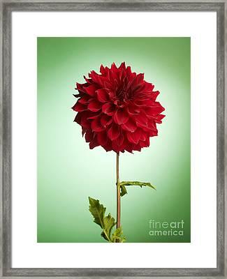 Red Dahlia Framed Print by Tony Cordoza