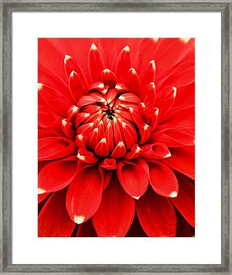 Red Dahlia With White Tips Framed Print by E Faithe Lester