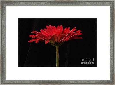 Red Daisy 4 Framed Print