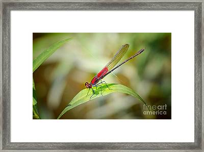 Red Damselfly Framed Print by Peggy Franz