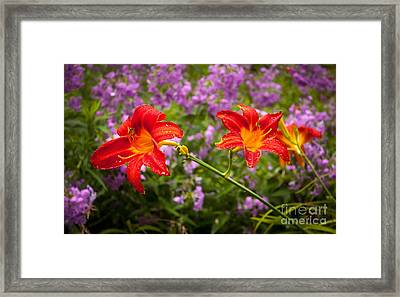 Red Daylilies Framed Print by Lena Auxier