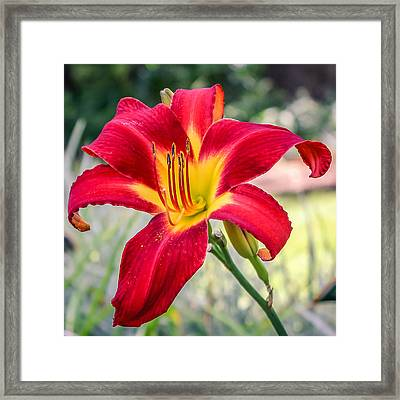 Framed Print featuring the photograph Red Daylily by Rob Sellers