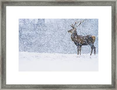 Red Deer Stag In Snowfall Derbyshire Uk Framed Print by James Shooter
