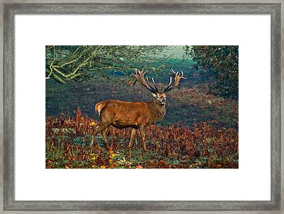 Red Deer Stag In Woodland Framed Print by Scott Carruthers