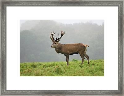 Red Deer Stag Framed Print by Nigel Downer