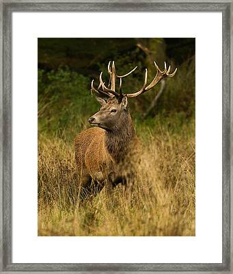Red Deer Stag Framed Print by Paul Scoullar
