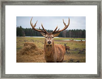 Red Deer Stag Protecting Its Fawn Framed Print by Boris Sv