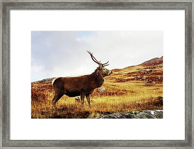 Red Deer, Stag Framed Print by Urbancow