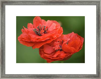 Red Double Shirley Poppies Framed Print by Maria Mosolova