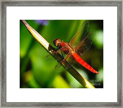 Red Dragonfly Framed Print by Charles Dobbs