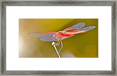 Red Dragonfly Framed Print by Cyril Maza