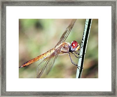 Red Dragonfly Eyes Framed Print