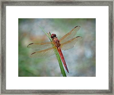 Framed Print featuring the photograph Red Dragonfly by Linda Brown