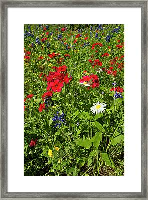 Red Drummond Phlox (phlox Drummondii Framed Print by Larry Ditto