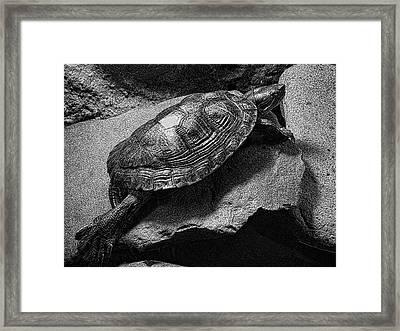 Red-eared Slider Turtle Framed Print