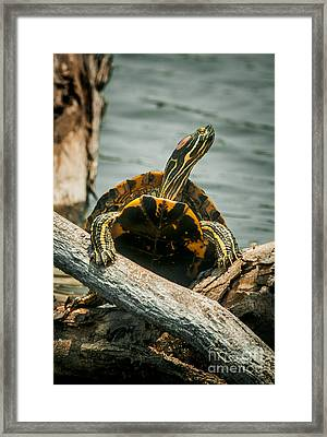 Red Eared Slider Turtle Framed Print by Robert Frederick