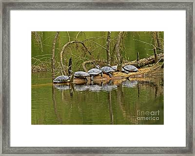 Red Eared Slider Turtles 2 Framed Print by Sharon Talson
