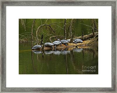 Red-eared Slider Turtles Framed Print