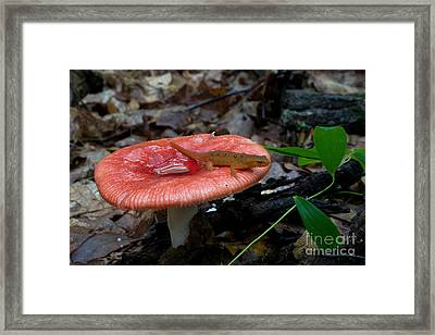 Red Eft On A Mushroom Framed Print by Paul Whitten