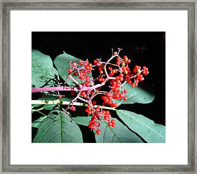 Red Elderberry Framed Print by Cheryl Hoyle