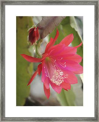 Red Epiphyllum Study Framed Print